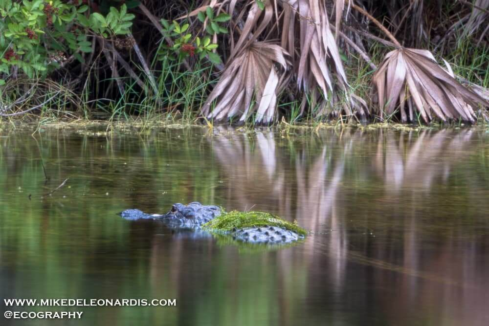 Alligator in Big Cypress National Preserve