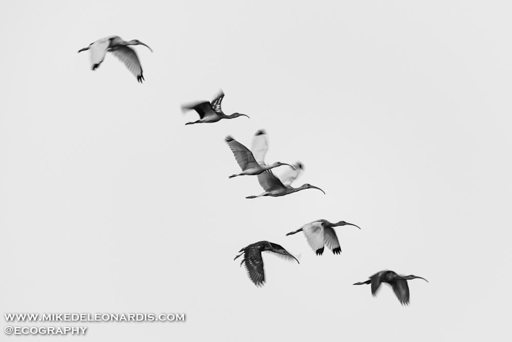A flock of ibis flying during sunset.