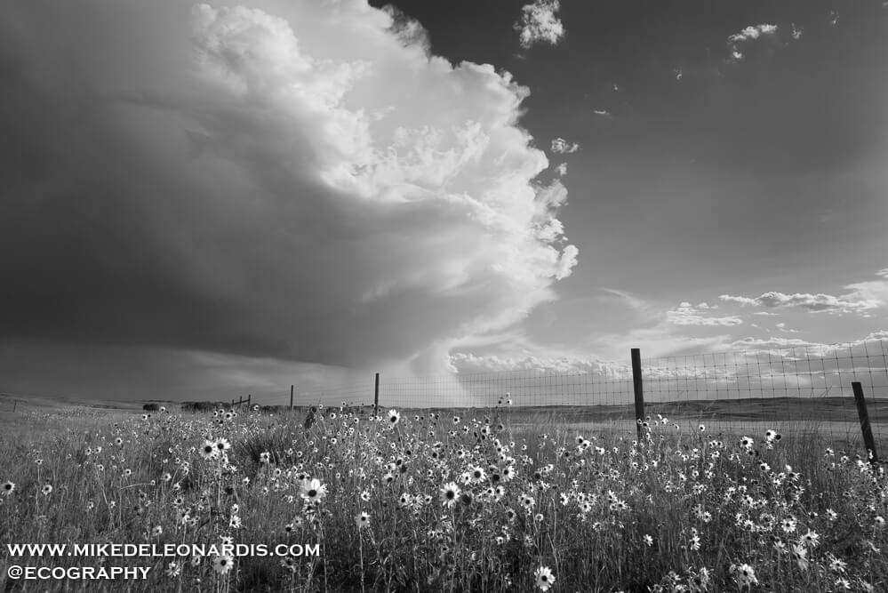 Summer storm over the sunflowers