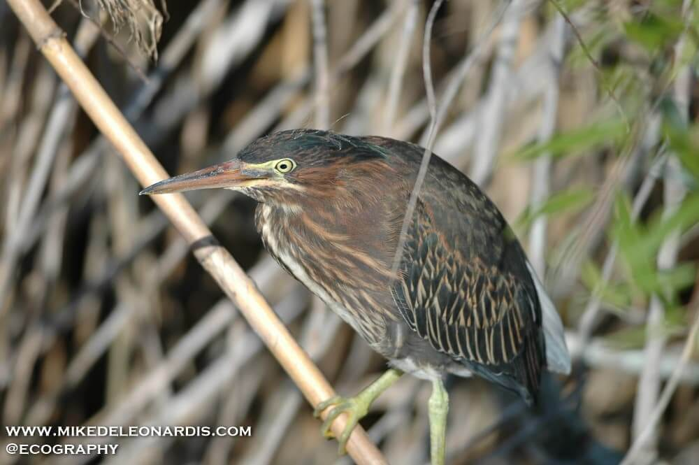 American bittern in the Florida Everglades.