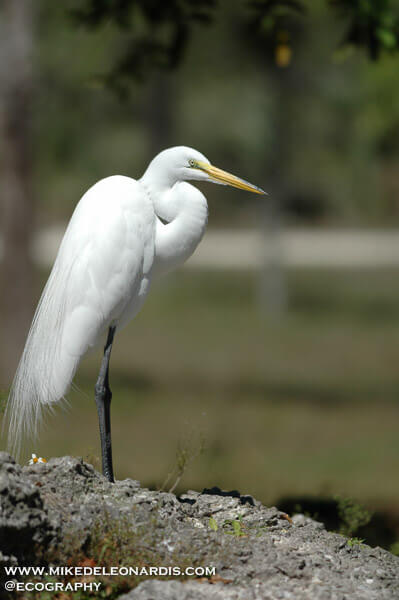 Great egret in the Florida Everglades.
