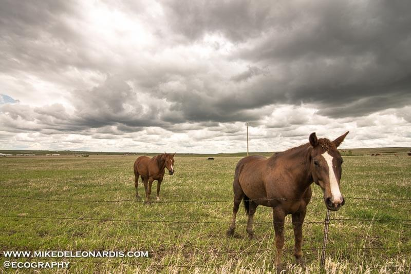 This horse was happy to say hello to me, despite the ominous storm clouds building behind him. Although I think he was trying to say, 'No sir, I don't like it'.